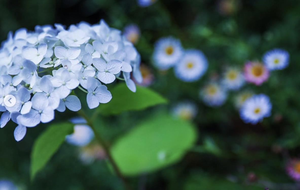 みっちゃんの紫陽花